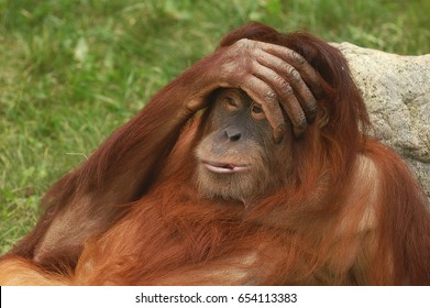 """Portrait of wild brown red monkey orangutan Pongo pygmaeus with hand on his head, liying on stone. Sad monkey orangutan with emotion """"Oh my God"""". Humor. Funny wild animals. Get tired person monkey"""