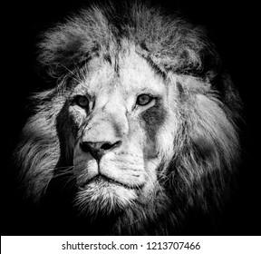 Portrait of a wild, dangerous male lion