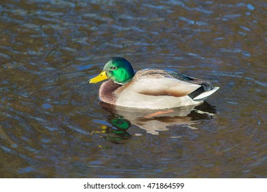 Portrait of wild duck swimming in the water