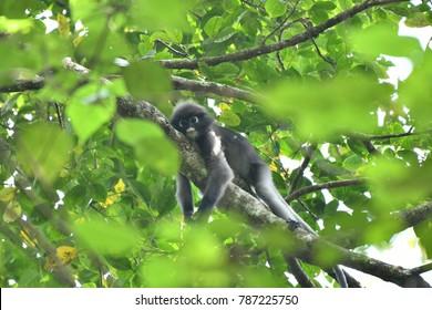 Portrait of a wild dusky leaf monkey, Trachypithecus Obscurus, Asleep on the tree, Thailand