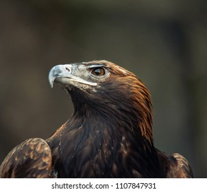 Portrait of wild eagle on nature in dramatic tones