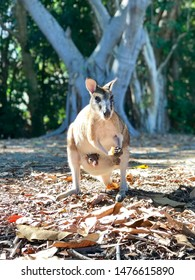Portrait of a wild, female Agile Wallaby eating an apple with a small Joey peeking out from her pouch, trees in the background