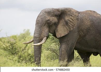 Portrait of wild free roaming african elephant