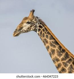 portrait of a wild giraffe in background, South Africa