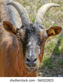 Portrait, wild goat with horns