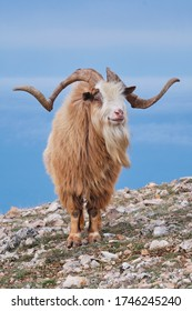 Portrait of wild goat on a mountainside in the daytime on a blue background.