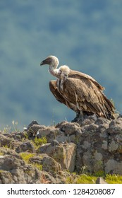portrait of wild griffon vulture, vulture perched on rocks in mountains