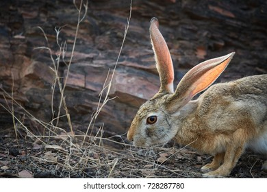 Portrait of wild indian hare or black-naped hare, Lepus nigricollis, shy indian animal in hot day, light shows the delicate veins in the ears working as part of the animal's cooling system. Wildlife.