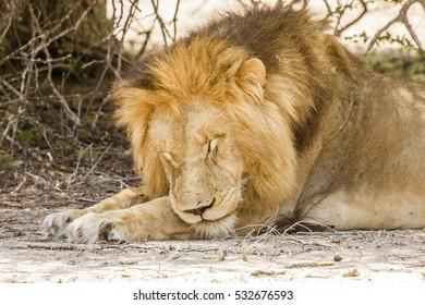 portrait of wild male lion resting in Kruger Park