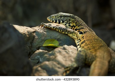 Portrait of wild Nile Monitor, Varanus niloticus, colorful lizard lying on rock against dark background, staring at camera. Rear view,  South Africa.