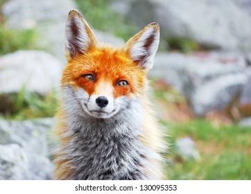 Portrait of wild red fox