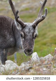 Portrait of wild reindeer with big antlers in Longyearbyen