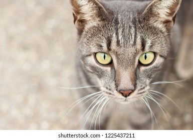 Portrait of wild tramp cat with yellow eyes and beautiful stripes.