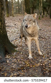 Portrait of a wolf in autumn forest, Lithuania