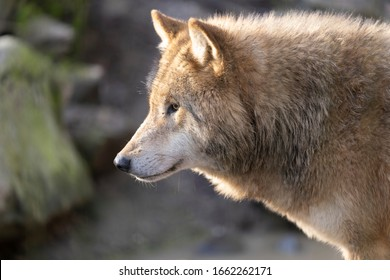 Portrait of a Wolf in backlight conditions