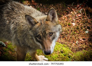 Portrait of wolf. Deatil of wolf´s head.