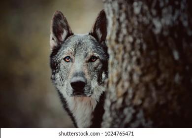 portrait of wolf dog