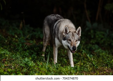 portrait of a wolf in the woods