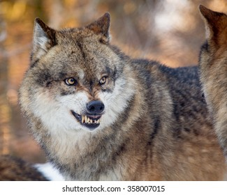 Portrait of wolf with wrinkled snout showing fangs in defensive threat in winter country