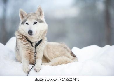 Portrait of a Wolfdog lying on winter snow.