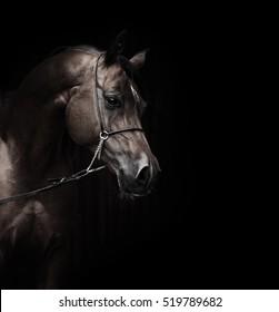 portrait of wonderful bay  arabian horse.