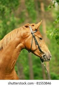 portrait of wonderful red horse
