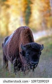 Portrait of Wood Bison Bull standing in field