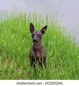 Portrait of Xoloitzcuintli. Mexican Naked Dog close-up. A pet on the lawn. A bald dog of dark gray color against a background of green grass. Nearby.