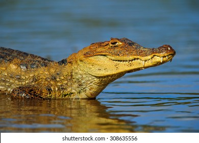 Portrait of Yacare Caiman in blue water of Cano Negro, Costa Rica.