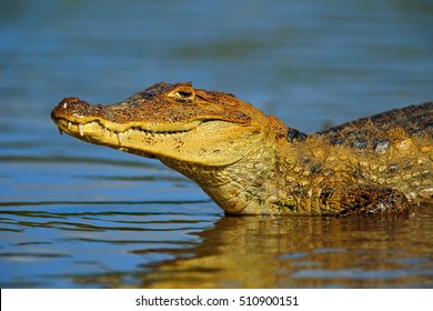 Portrait of Yacare Caiman in blue water, Cano Negro, Costa Rica. Crocodile in the blue water with evening sun.