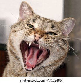 Portrait of a yawning cat with a sharp teeth