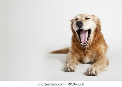 Portrait of the yawning dog Golden Retriever isolated on the white background