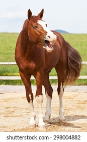 Portrait of yawning hot-blooded horse