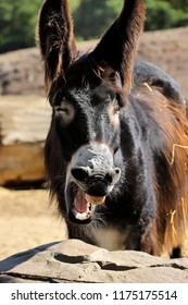 Portrait of yawning oscitant domestic Catalan donkey on the farm. Photography of nature and wildlife.