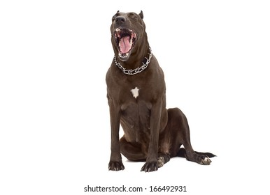 Portrait of a yawning Staffordshire Terrier
