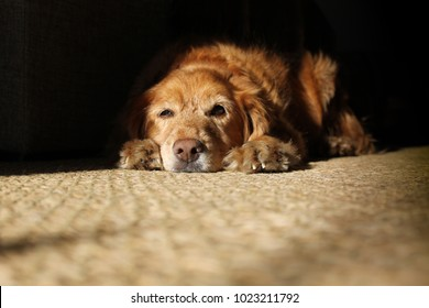 a portrait of a yellow dog lying on the carpet