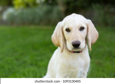 portrait of yellow lab puppy
