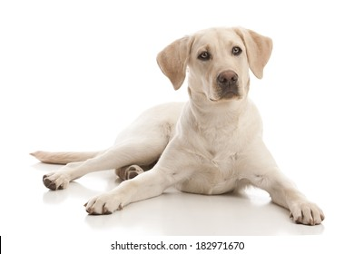 Portrait of a yellow lab puppy.  Isolated on white.