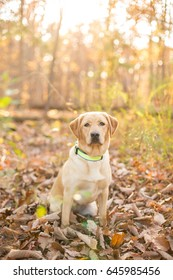 Portrait of a yellow lab puppy sitting in the woods during fall