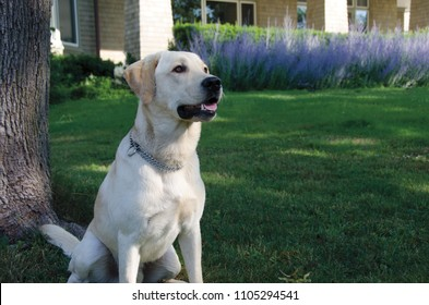 Portrait of a Yellow Labrador Retriever