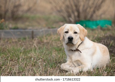 Portrait of yellow labrador retriever dog lying calmly on dry grass outdoors, having rest. Copy space. Dogs, pets, emotions, resttime, friendsheep, breeding, strong and healthy pet, uprising dogs