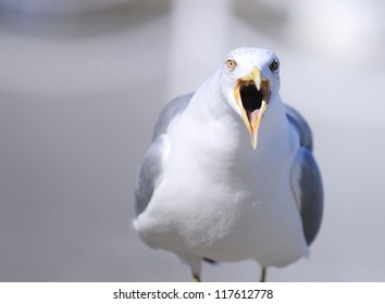 Portrait of yellow legged gull with open beak.