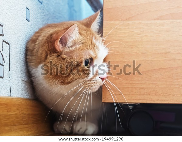 Portrait of yellow scared cat hiding at home