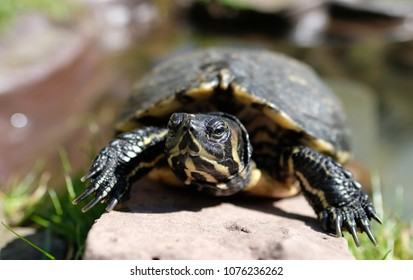 Portrait of a Yellow-bellied Turtle