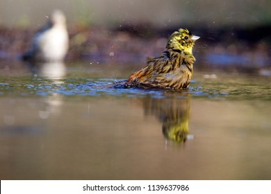 Portrait of a yellowhammer, the Netherlands