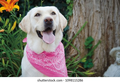 Portrait of a YellowLab