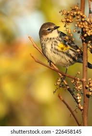 Portrait of Yellow-Rumped Warbler