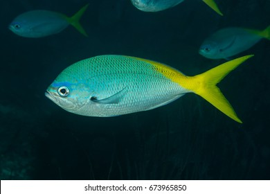 Portrait of a yellowtail fusilier (caesio cuning)