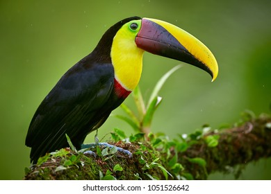 Portrait of Yellow-throated toucan - Ramphastos ambiguus. Toucan sitting on the branch in the forest, Boca Tapada, green vegetation, Costa Rica. Nature travel in central America.