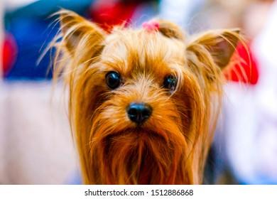 Portrait of Yorkshire Terrier close-up